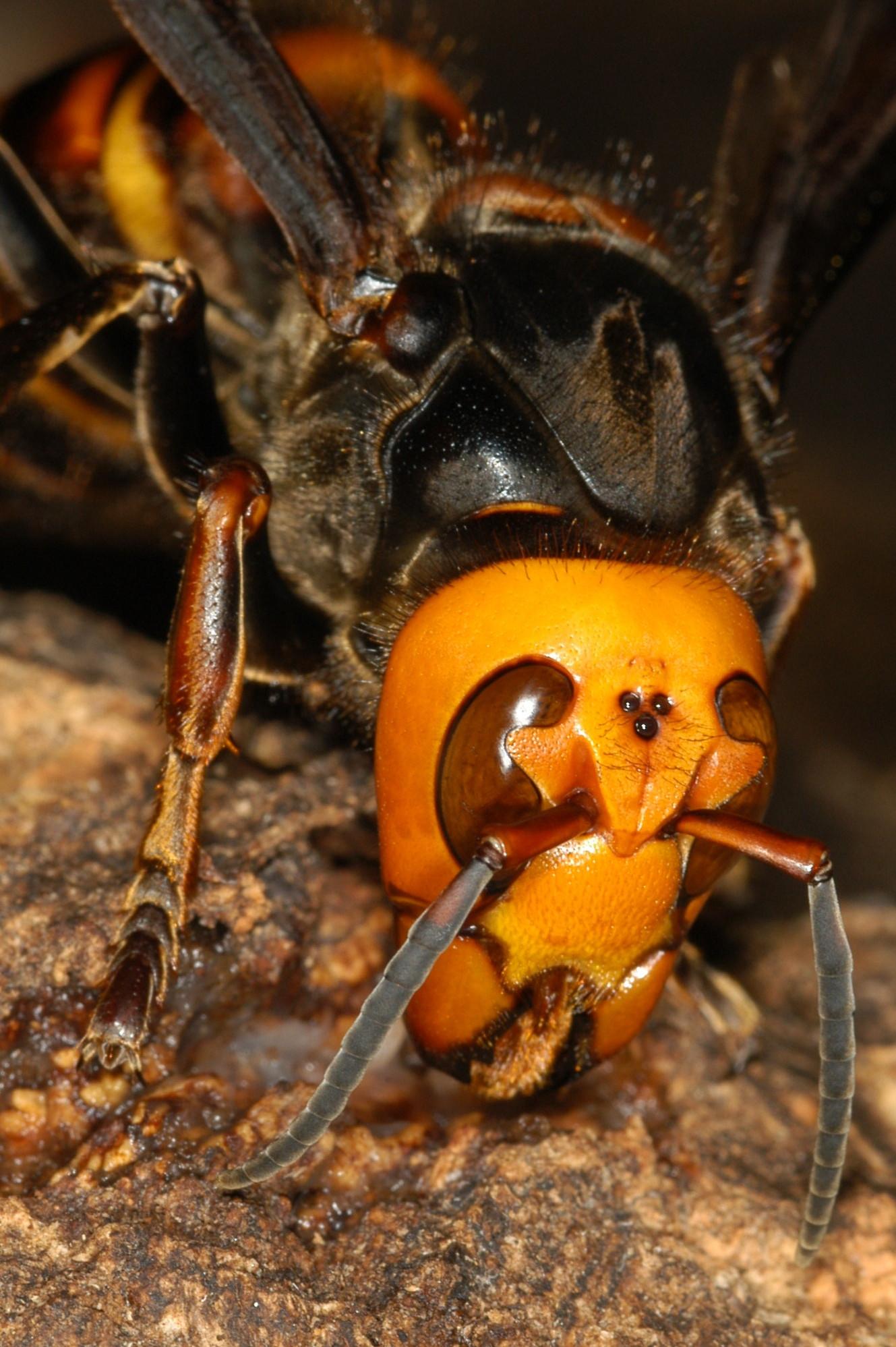 スズメバチの画像 p1_26
